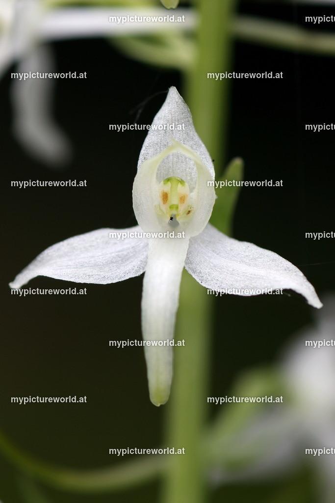 Weiße Waldhyazinthe-009
