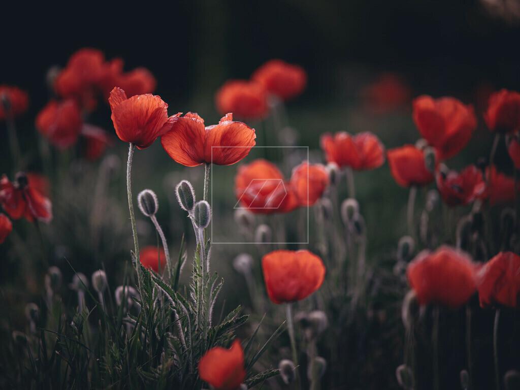 Poppy | Mohn im Hofwiesenpark Gera