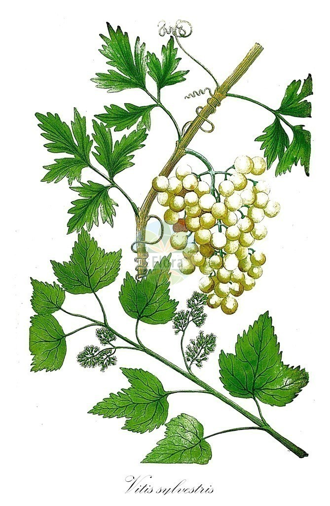 Historical drawing of Vitis sylvestris (European Woodland Grapevine)   Historical drawing of Vitis sylvestris (European Woodland Grapevine) showing leaf, flower, fruit, seed