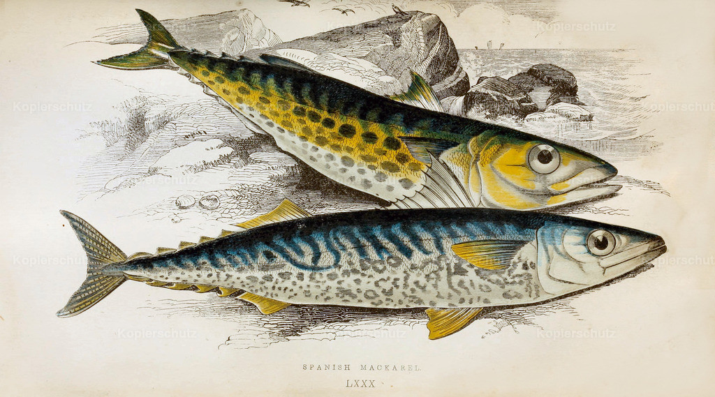 A-History-of-the -Fishes- of- the- British-Islands-Fische-1862-1866 (30)