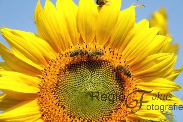 Der Sonne entgegen | Diese Sonnenblume bei Söhre blickt der Sonne entgegen, während sich fleißige Bienen auf ihr tummeln