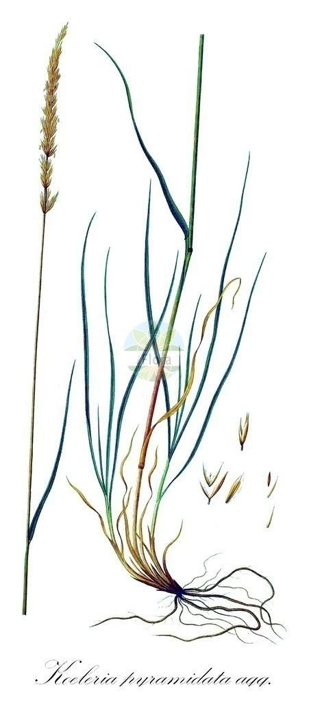 Historical drawing of Koeleria pyramidata agg. (Crested Hair-grass) | Historical drawing of Koeleria pyramidata agg. (Crested Hair-grass) showing leaf, flower, fruit, seed
