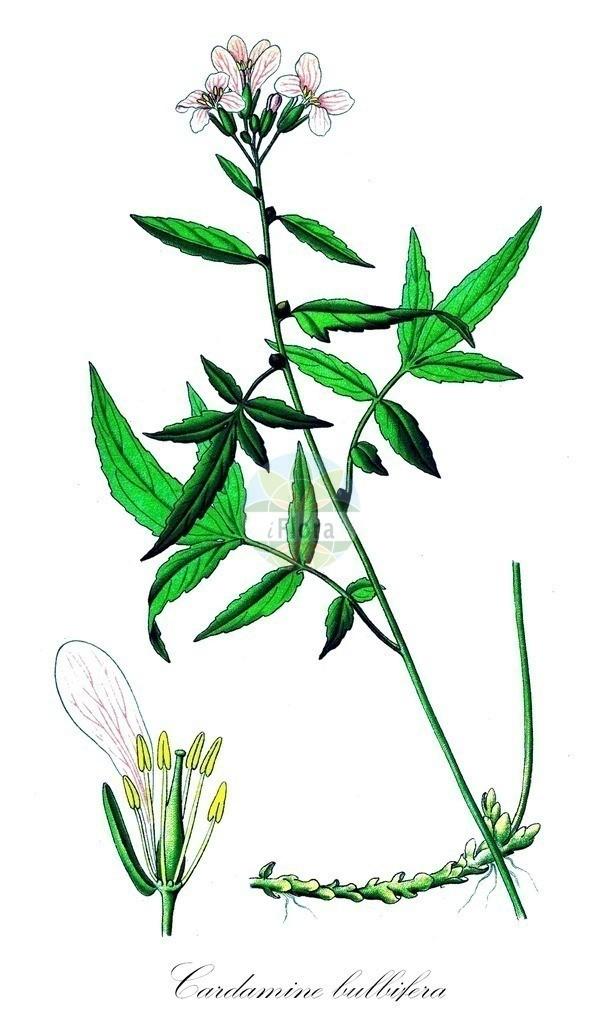 Historical drawing of Cardamine bulbifera (Coralroot) | Historical drawing of Cardamine bulbifera (Coralroot) showing leaf, flower, fruit, seed