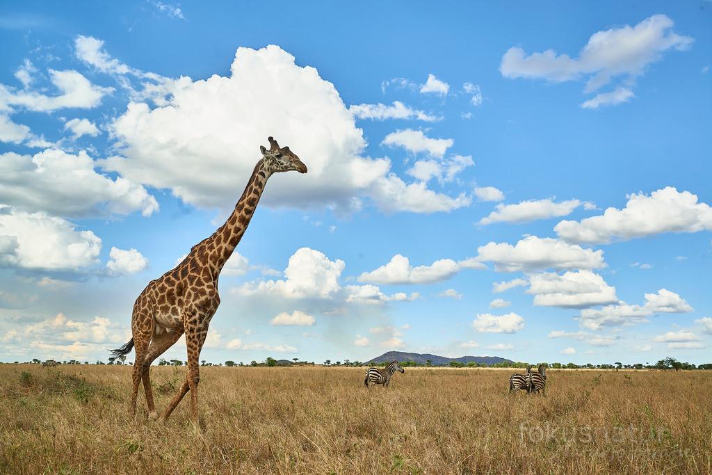 Giraffe und Schäfchenwolken | Ein großes Giraffenmännchen in der afrikanischen Savanne.