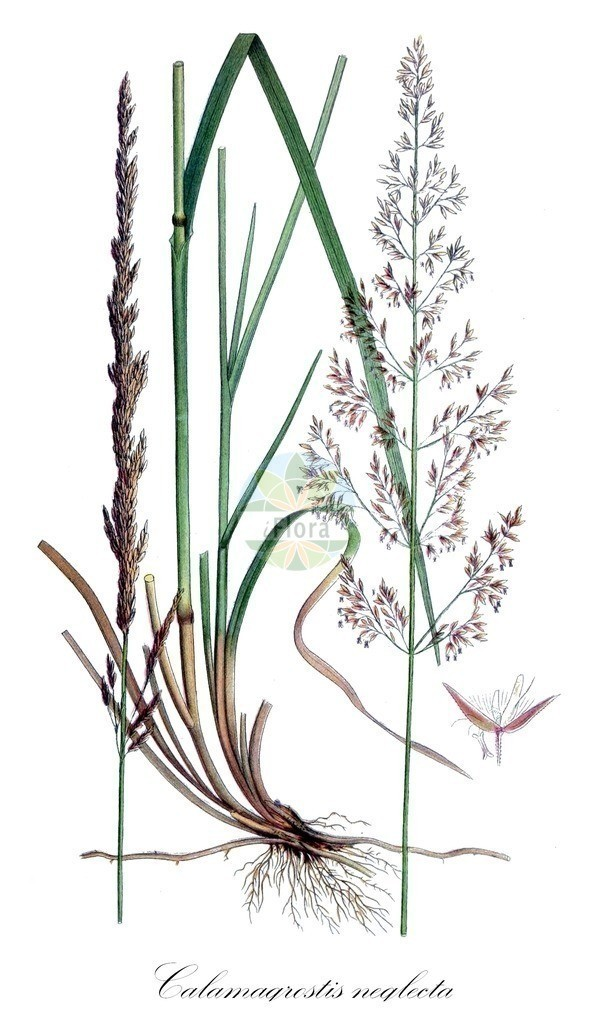 Historical drawing of Calamagrostis neglecta (Narrow Small-reed)   Historical drawing of Calamagrostis neglecta (Narrow Small-reed) showing leaf, flower, fruit, seed
