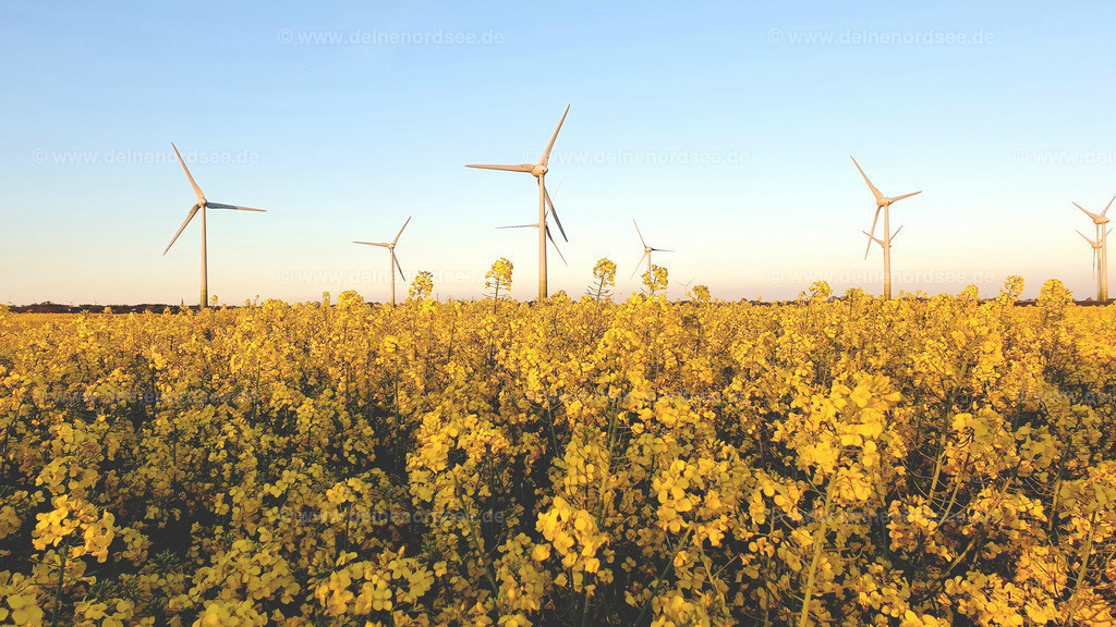 Rapsblüte mit Windmühlen Nordfriesland Koog