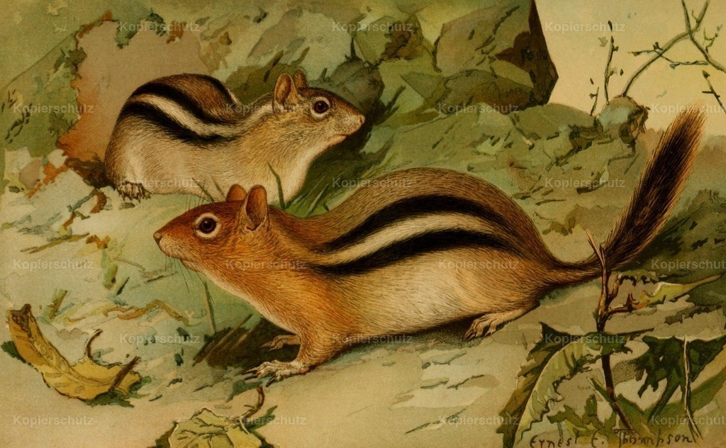 Thompson_ E.E. (1860-1946) - North American Fauna 1938 - Golden-mantled Ground Squirrel