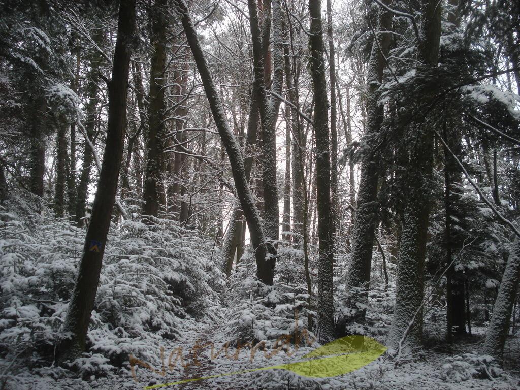 Winterwald mit tanzenden Bäumen   Die Bäume haben ihr eigenes Leben - nicht jeder geht geradewegs nach oben - mancher nach rechts, mancher nach links - tun wir es ihnen gleich!