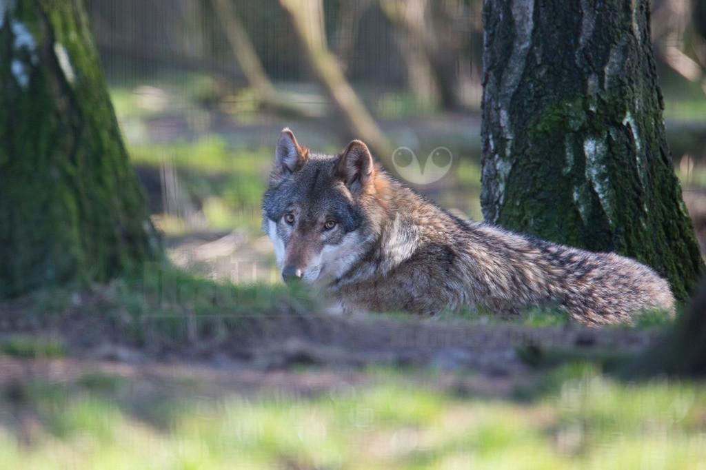 20140309_173114-2  | Wölfe sind sehr anpassungsfähig und bewohnen die unterschiedlichsten Gegenden, von den arktischen Tundren bis zu den Wüsten Nordamerikas und Zentralasiens. Einst war der Wolf eines der am weitesten verbreiteten Säugetierarten der Welt.