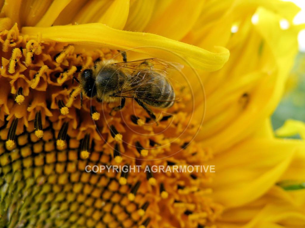 20090711-IMG_4307 | blühende Sonnenblumen im Sommer - AGRARMOTIVE Bilder aus der Landwirtschaft