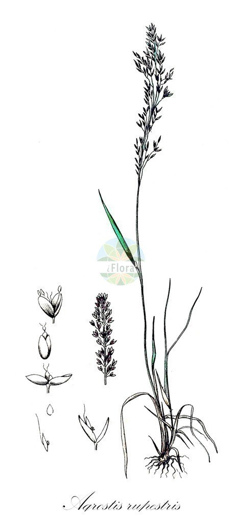 Historical drawing of Agrostis rupestris (Northern Bentgrass) | Historical drawing of Agrostis rupestris (Northern Bentgrass) showing leaf, flower, fruit, seed