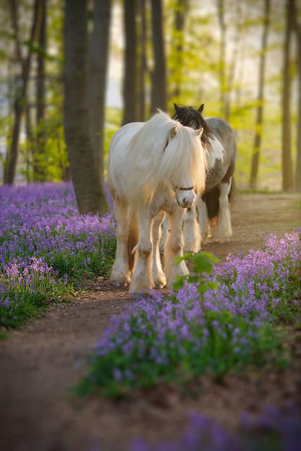 Begegnung im Märchenwald | Völlig unverhofft traf ich diese Pferde in einem Märchenwald am Niederrhein. Der Boden war mit Hasenglöckchen übersäht und´das Licht der Abendsonne streifte sanft die Tiere.