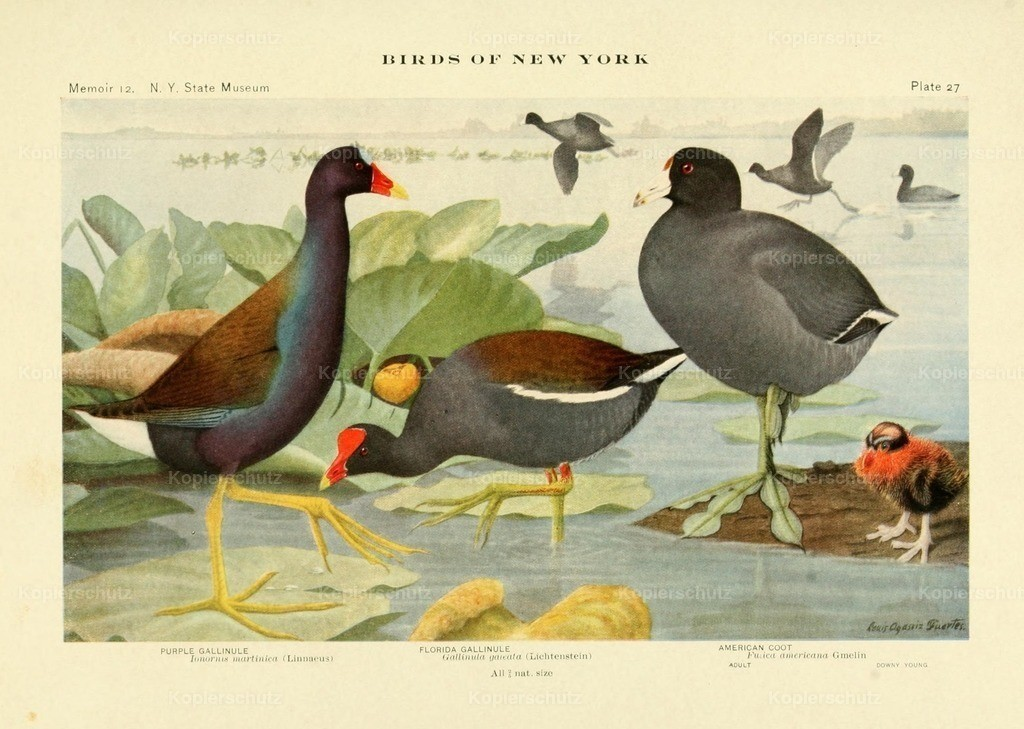 Fuertes_ L.A. (1874-1927) - Birds of NY 1914 - Gallinule