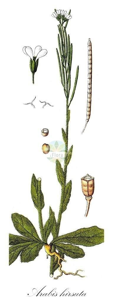 Historical drawing of Arabis hirsuta (Hairy Rock-cress)   Historical drawing of Arabis hirsuta (Hairy Rock-cress) showing leaf, flower, fruit, seed