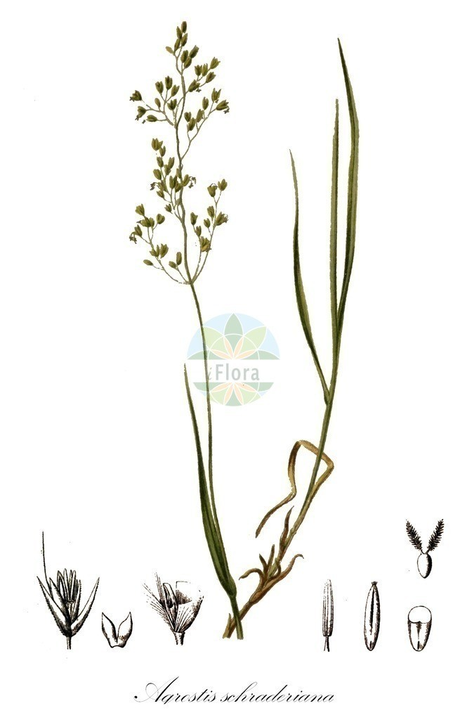 Historical drawing of Agrostis schraderiana (Schrader's Bentgr | Historical drawing of Agrostis schraderiana (Schrader's Bentgras) showing leaf, flower, fruit, s