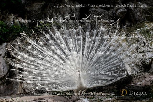 Weisser Pfau 1 -Vorschaubild | Weisser Pfau in Schönbrunn