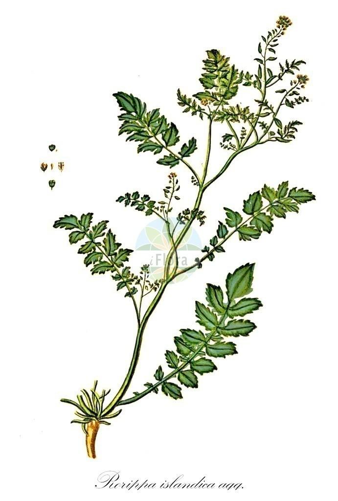 Historical drawing of Rorippa islandica agg. (Northern Yellow-cress) | Historical drawing of Rorippa islandica agg. (Northern Yellow-cress) showing leaf, flower, fruit, seed