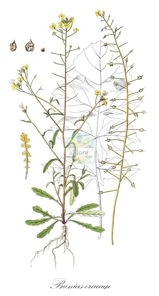 Historical drawing of Bunias erucago (Warty-cabbage) | Historical drawing of Bunias erucago (Warty-cabbage) showing leaf, flower, fruit, seed
