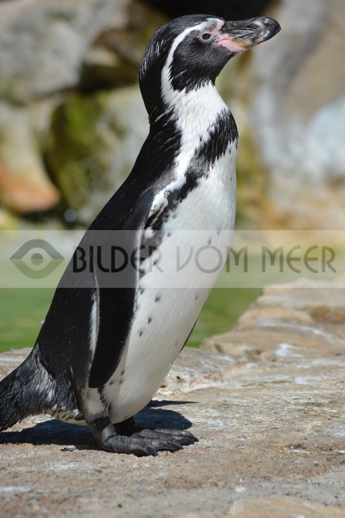 Pinguine Bilder | Foto Pinguin aus Italien