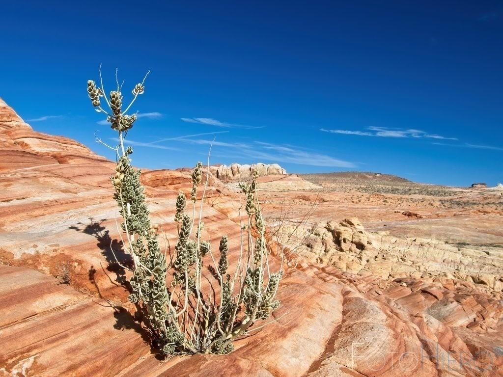 Pflanzen auf Stein | Sandsteinformation im Valley of Fire State Park, Nevada, USA