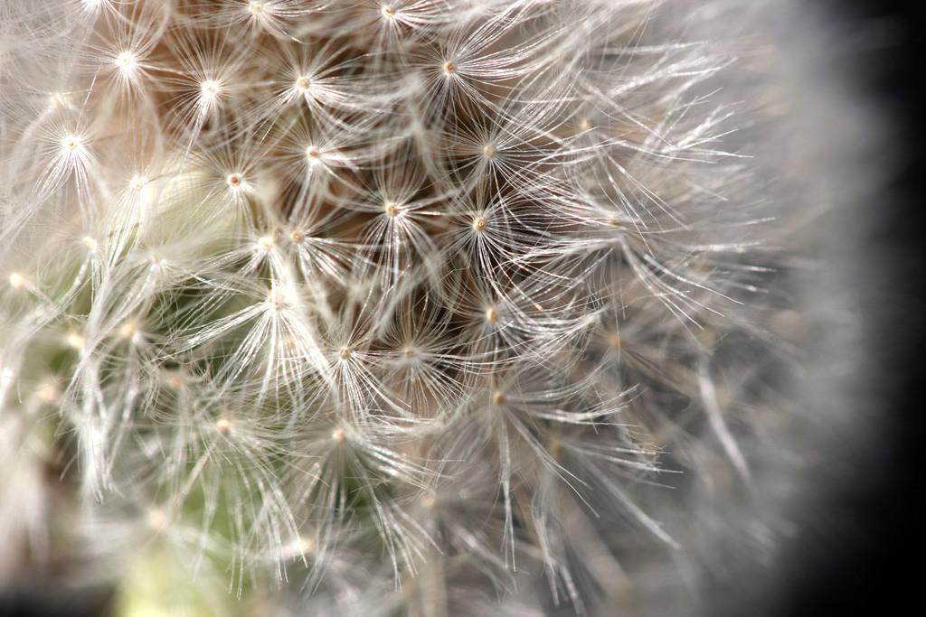 Blumenwiese   Blumenwiese mit Loewenzahn als Pusteblume, Taraxacum sect. Ruderalia.
