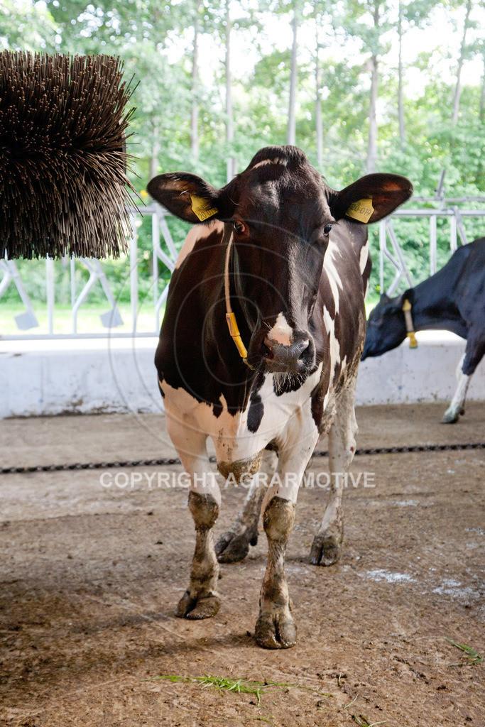 20110627-IMG_3146 | Milchkühe im Boxenlaufstall