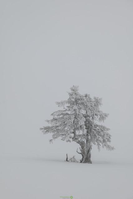 Arve im Schneegestöber   Wunderschöne Arve in einer Winterlandschaft