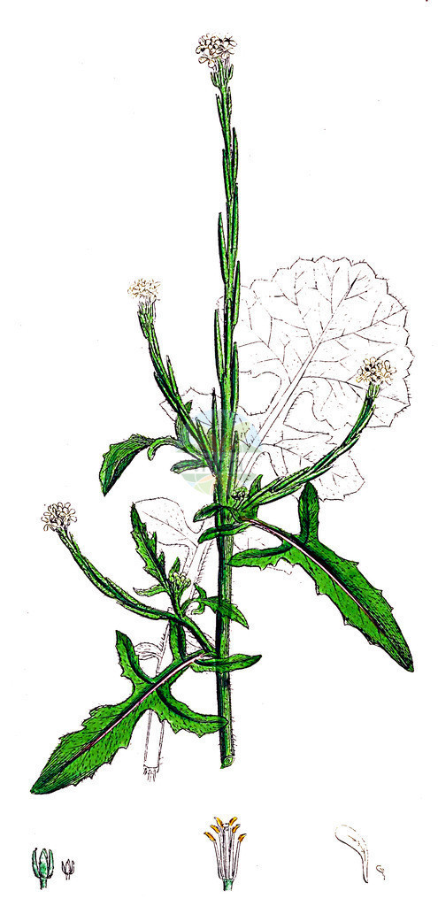 Sisymbrium officinale (Weg-Rauke - Hedge Mustard)   Historische Abbildung von Sisymbrium officinale (Weg-Rauke - Hedge Mustard). Das Bild zeigt Blatt, Bluete, Frucht und Same. ---- Historical Drawing of Sisymbrium officinale (Weg-Rauke - Hedge Mustard).The image is showing leaf, flower, fruit and seed.