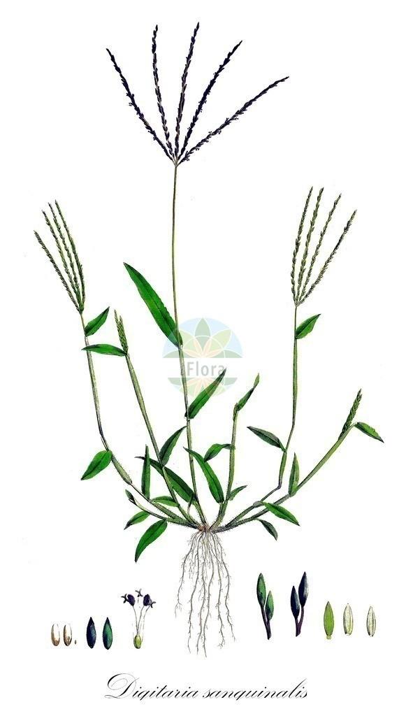 Historical drawing of Digitaria sanguinalis (Hairy Finger-grass)   Historical drawing of Digitaria sanguinalis (Hairy Finger-grass) showing leaf, flower, fruit, seed