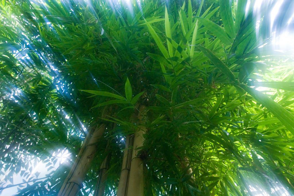 Best. Nr. erfolg12   Üppige Bambuspflanze