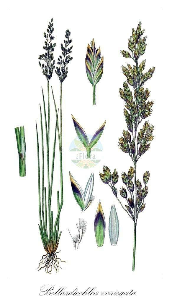 Historical drawing of Bellardiochloa variegata | Historical drawing of Bellardiochloa variegata showing leaf, flower, fruit, seed