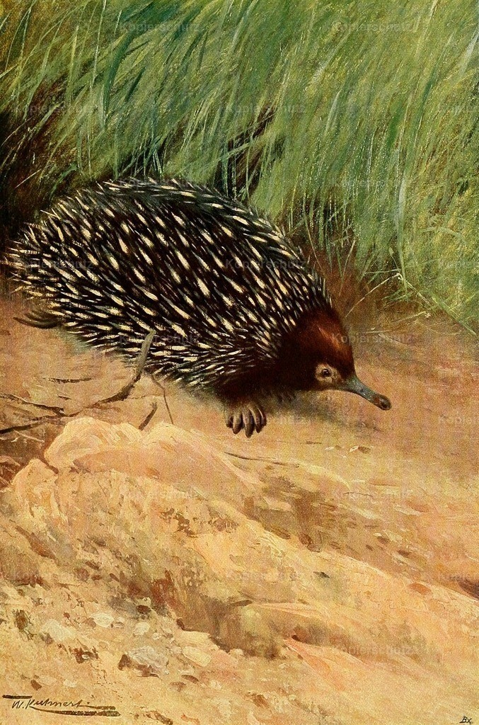 Kuhnert_ F.W. (1865-1926) - Wild Life of the World 1916 - Spiny ant-eater