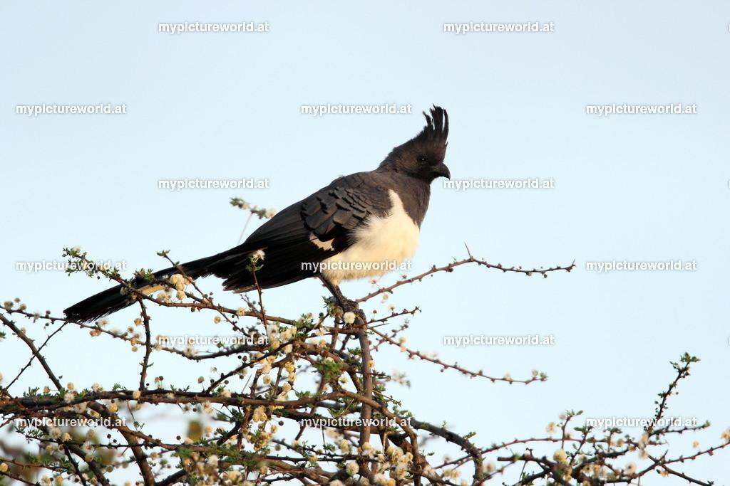 Weißbauch-Lärmvogel-003