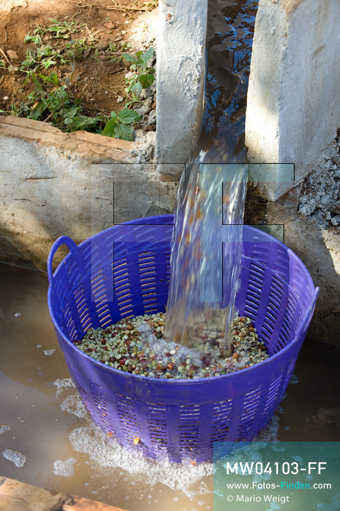 MW04103-FF   Laos   Paksong   Reportage: Kaffeeproduktion in Laos   Die Kaffeebohnen werden mehrmals gewaschen. In den Plantagen auf dem Bolaven-Plateau gedeihen Sträucher der Kaffeesorten Robusta und Arabica.  ** Feindaten bitte anfragen bei Mario Weigt Photography, info@asia-stories.com **