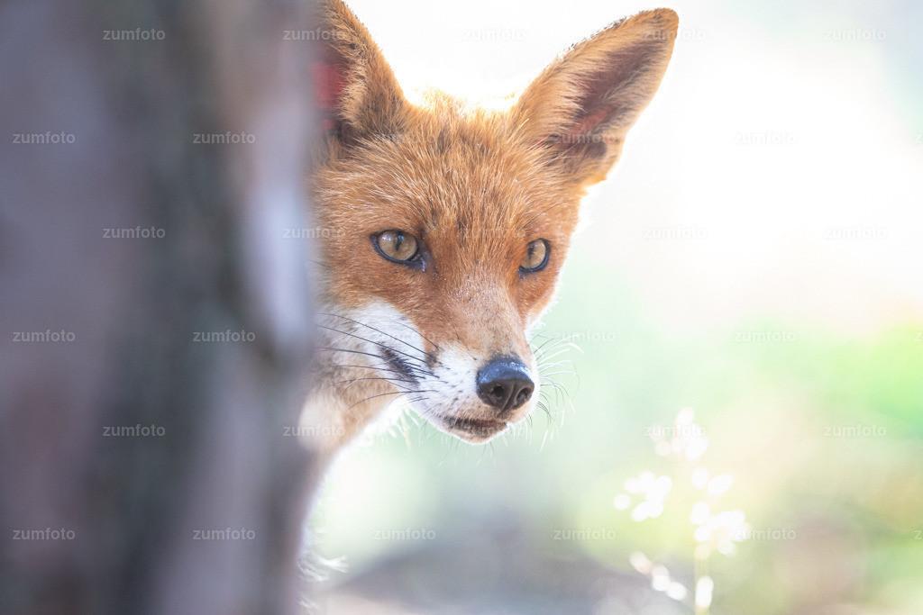 190626_0759-1855 | Ich wollte mal wieder vorbei schauen ob Du Zeit hast ;-) Das Bild habe ich heute Morgen gamacht nachdem ich den Fuchs beim graben eines neuen Baues beobachtet hatte :-)
