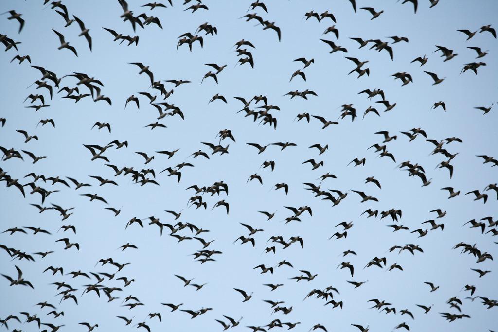 Vogelschwarm | Vorgelschwarm, Moewen.