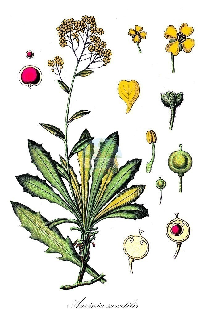Historical drawing of Aurinia saxatilis (Golden Alison)   Historical drawing of Aurinia saxatilis (Golden Alison) showing leaf, flower, fruit, seed