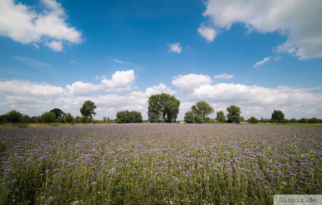 Senffeld bei Glehn | Senffeld mit lila Blühten zwischen Glehn und Kleinenbroich