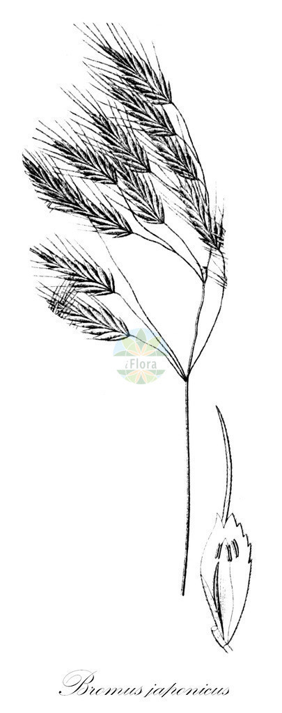 Historical drawing of Bromus japonicus (Thunberg's Bro   Historical drawing of Bromus japonicus (Thunberg's Brome) showing leaf, flower, fruit, s