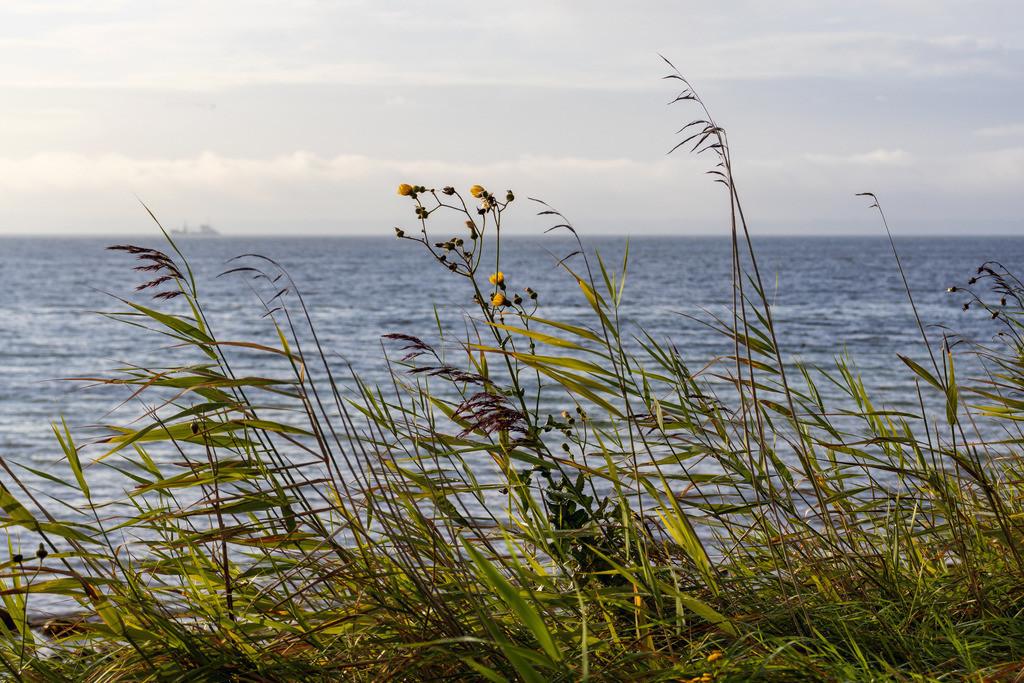 Schilf an der Steilküste   Ostsee im Herbst