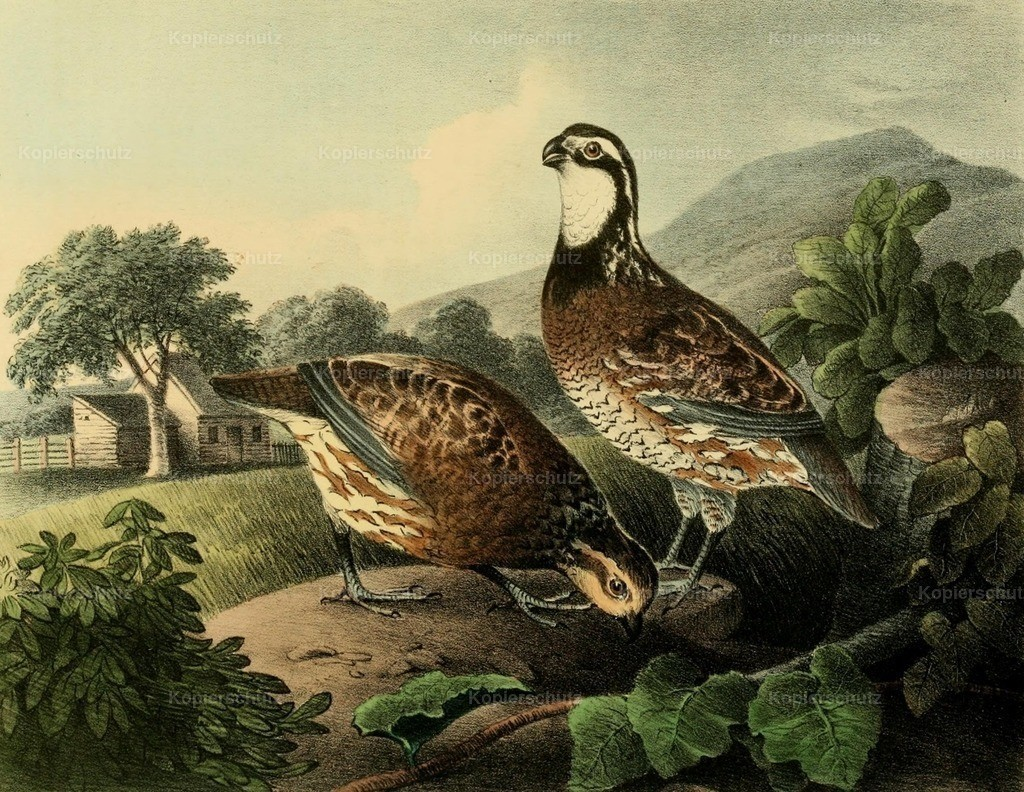 Doughty_ T. (1793-1856) - Cabinet of Natural History 1830 - Quails