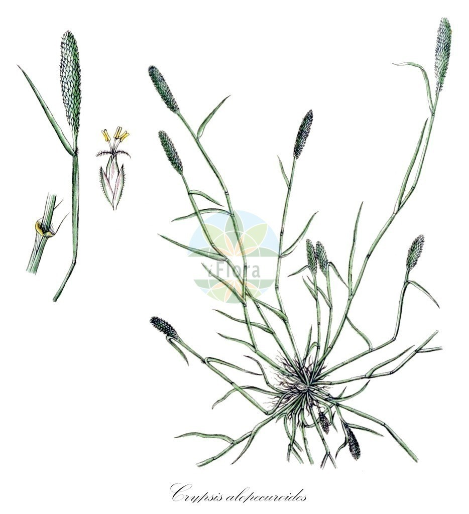 Historical drawing of Crypsis alopecuroides | Historical drawing of Crypsis alopecuroides showing leaf, flower, fruit, seed