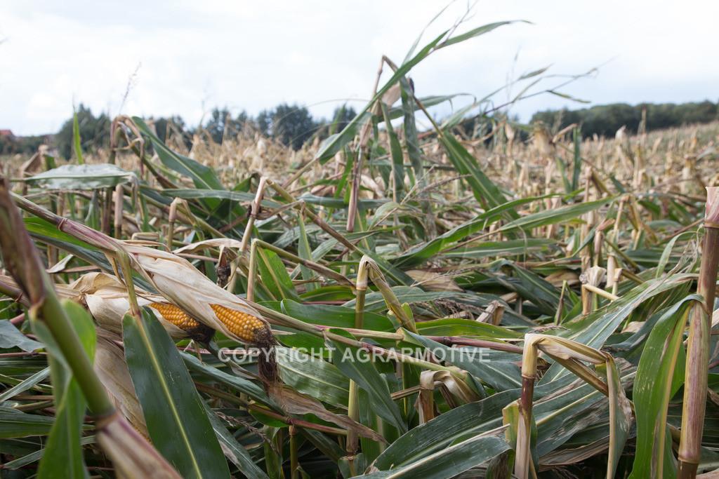 20170917-IMG_1131 | Ernteschaden im Mais durch Herbssturm