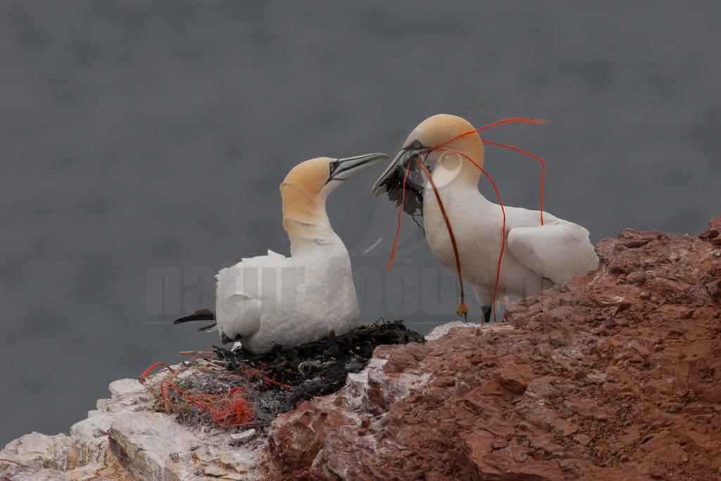 20060515_1616182414  | Der Basstölpel ist ein gänsegroßer Meeresvogel aus der Familie der Tölpel. Innerhalb dieser Familie ist er die am weitesten im Norden brütende Art und die einzige, die auch in Europa brütet.