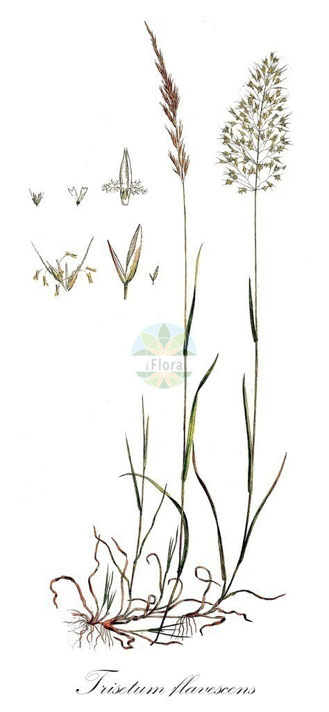 Historical drawing of Trisetum flavescens (Yellow Oat-grass) | Historical drawing of Trisetum flavescens (Yellow Oat-grass) showing leaf, flower, fruit, seed
