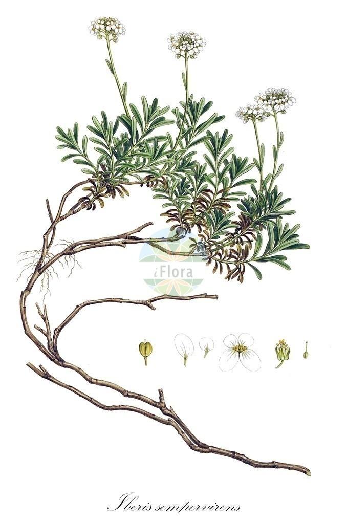 Historical drawing of Iberis sempervirens (Candytuft) | Historical drawing of Iberis sempervirens (Candytuft) showing leaf, flower, fruit, seed