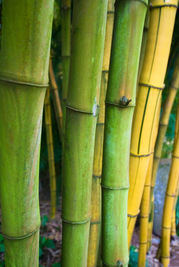 Familie 12 | Bambus
