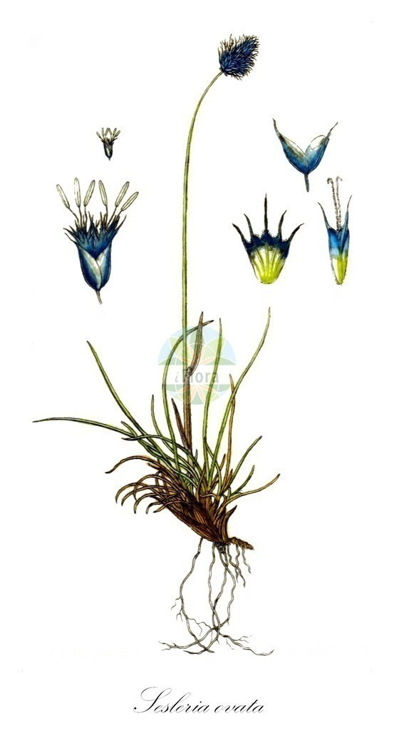 Historical drawing of Sesleria ovata (Smallflowered Moorgrass)   Historical drawing of Sesleria ovata (Smallflowered Moorgrass) showing leaf, flower, fruit, seed