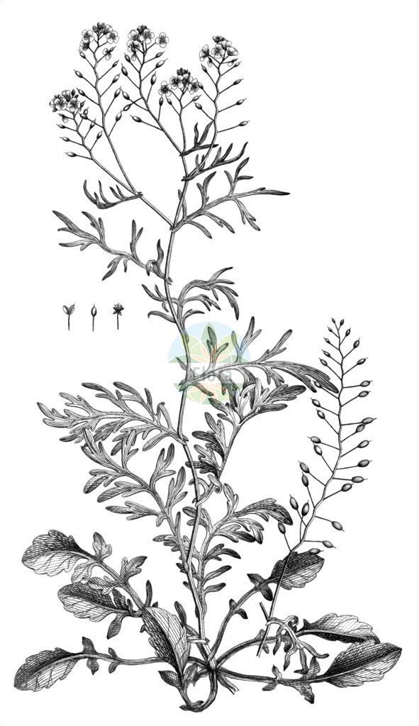 Rorippa pyrenaica (Pyrenaeen-Sumpfkresse - Pyrenean Yellowcress) | Historische Abbildung von Rorippa pyrenaica (Pyrenaeen-Sumpfkresse - Pyrenean Yellowcress). Das Bild zeigt Blatt, Bluete, Frucht und Same. ---- Historical Drawing of Rorippa pyrenaica (Pyrenaeen-Sumpfkresse - Pyrenean Yellowcress).The image is showing leaf, flower, fruit and seed.