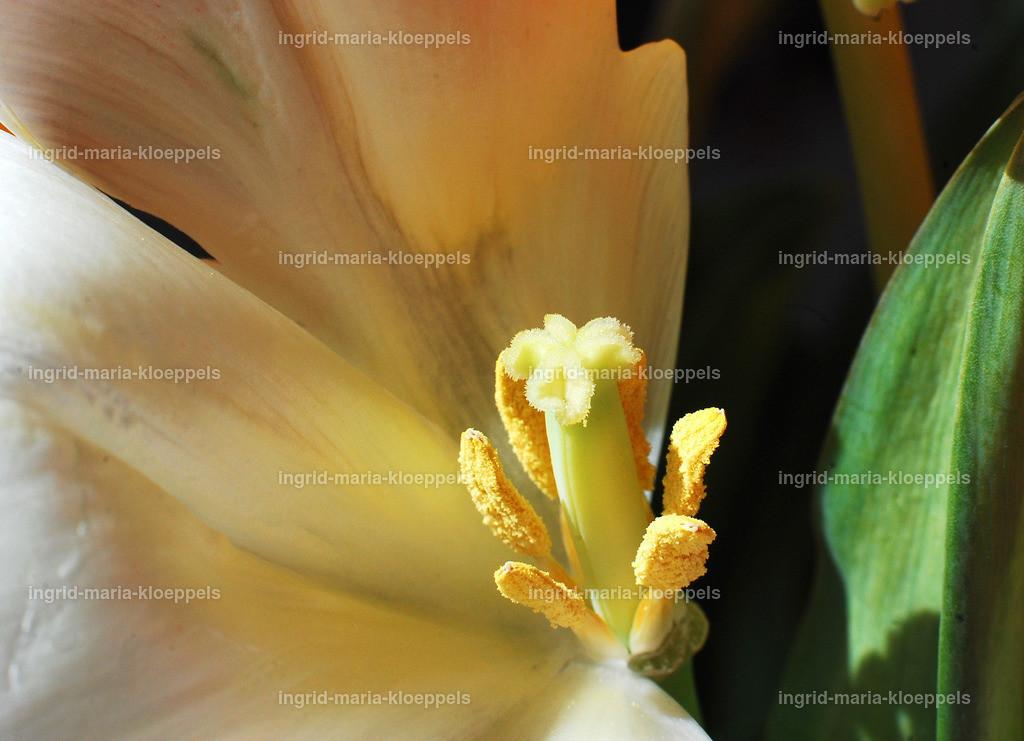 DSC_7581   tulpe
